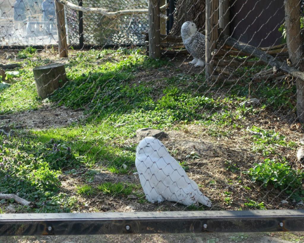 北海道旭山動物園 シロフクロウ舎 雄雌のつがい