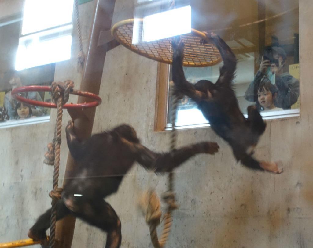 北海道旭山動物園 チンパンジー館 じゃれる二頭