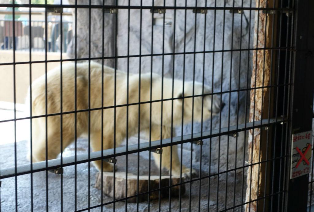 北海道旭山動物園 ほっきょくぐま館 柵ごしのホッキョクグマ
