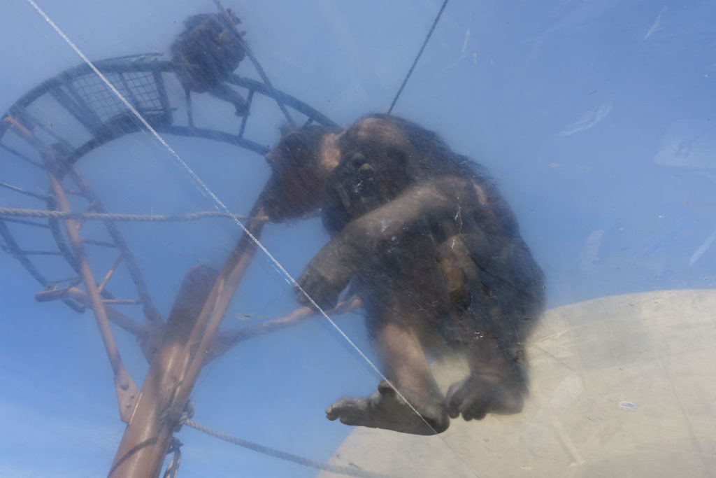 北海道旭山動物園 チンパンジー館 アクリルトンネル直上のチンパンジー