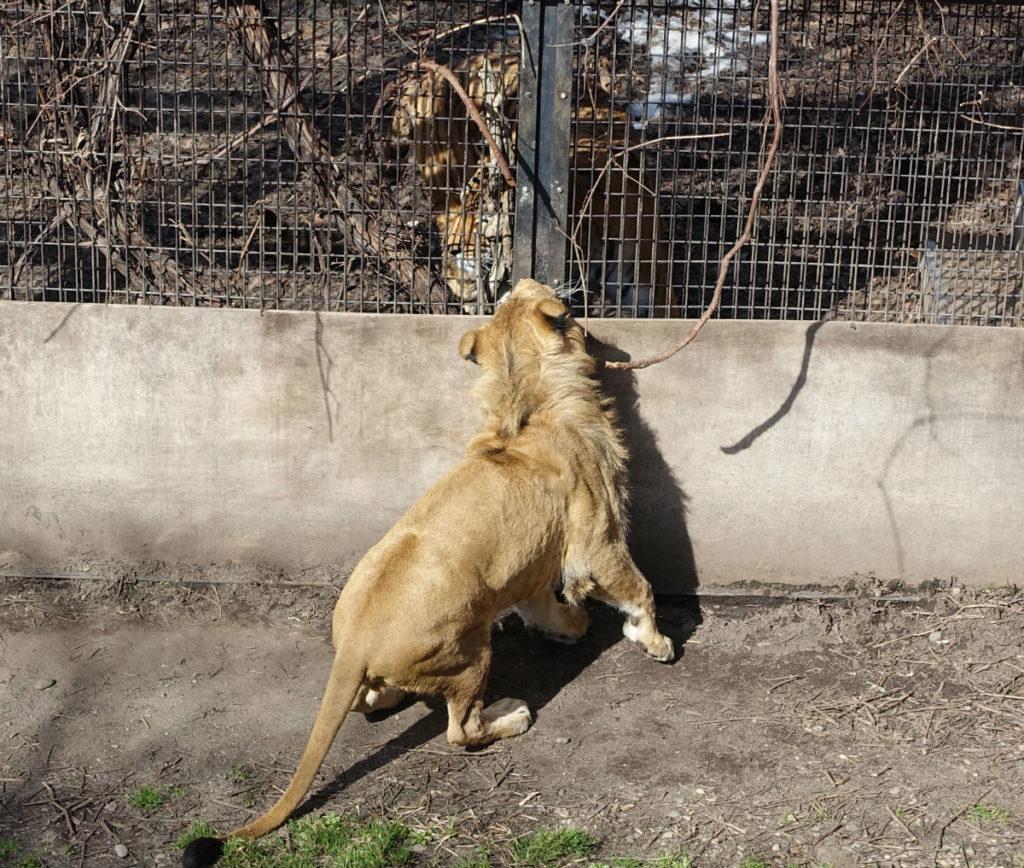 北海道旭山動物園 もうじゅう館 ライオンと奥のアムールトラ