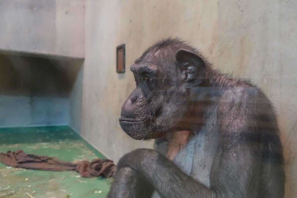 北海道旭山動物園 チンパンジー館 立膝で座るチンパンジー