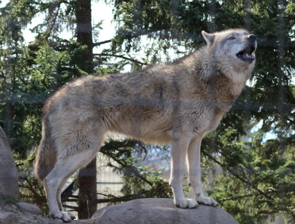 北海道旭山動物園 オオカミの森 屋外展示 アップ