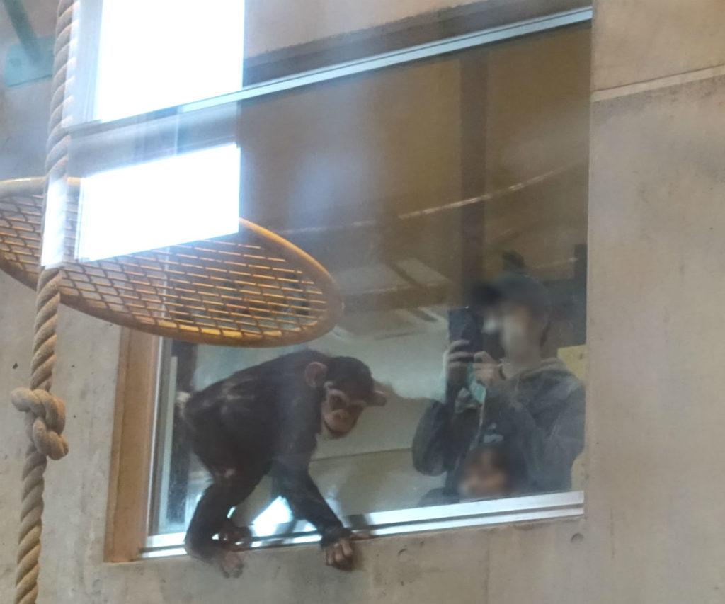 北海道旭山動物園 チンパンジー館 観察窓にとりついているチンパンジー