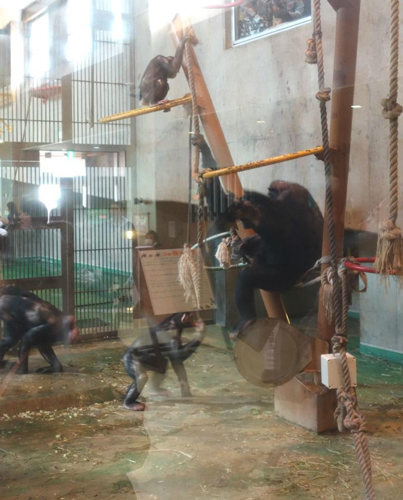 北海道旭山動物園 チンパンジー館 屋内の群