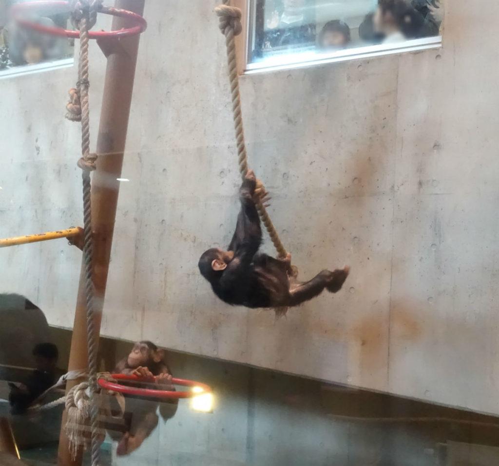 北海道旭山動物園 チンパンジー館 ターザン的な