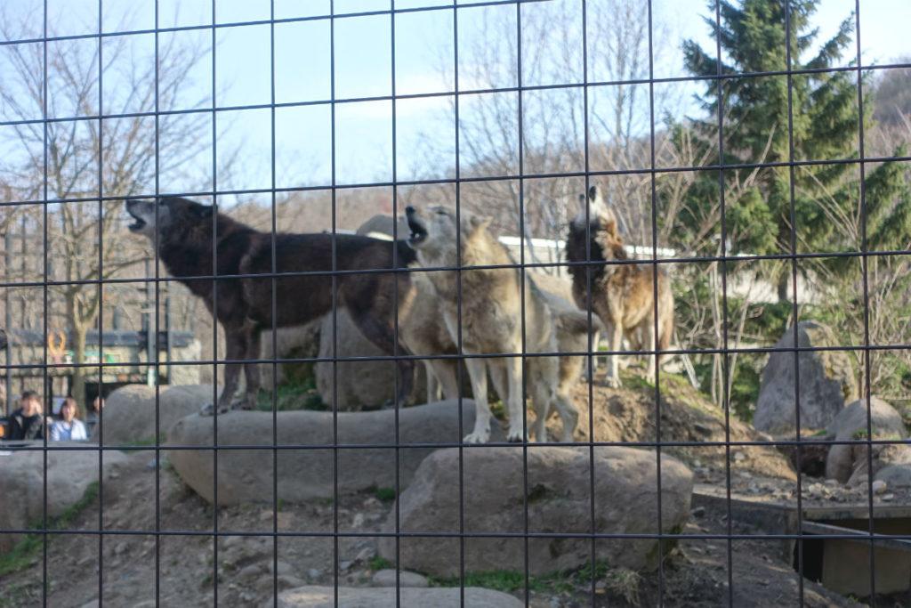北海道旭山動物園 オオカミの森 屋外展示 集団で遠吠え