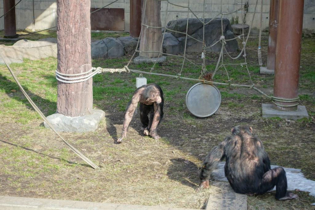 北海道旭山動物園 ちんぱんじーの森 屋外放飼場
