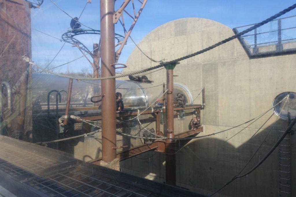 北海道旭山動物園 チンパンジー館 アクリルトンネルから眺める群