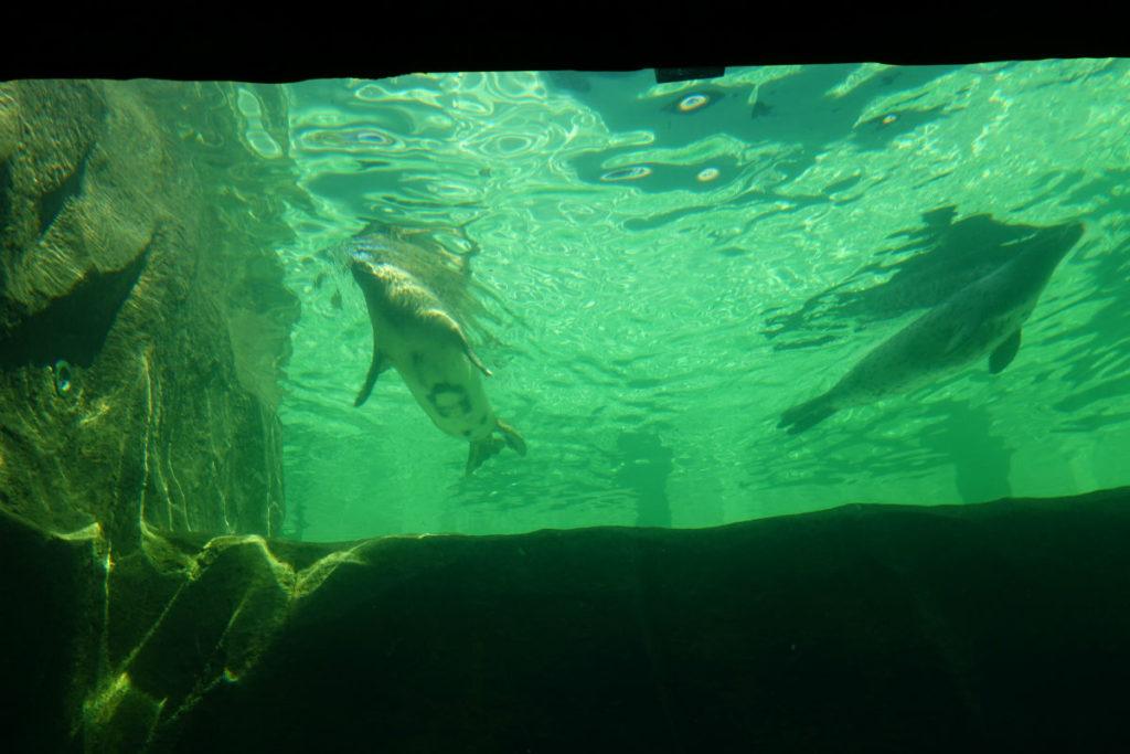 北海道旭山動物園 あざらし館 水面下のあざらしの様子